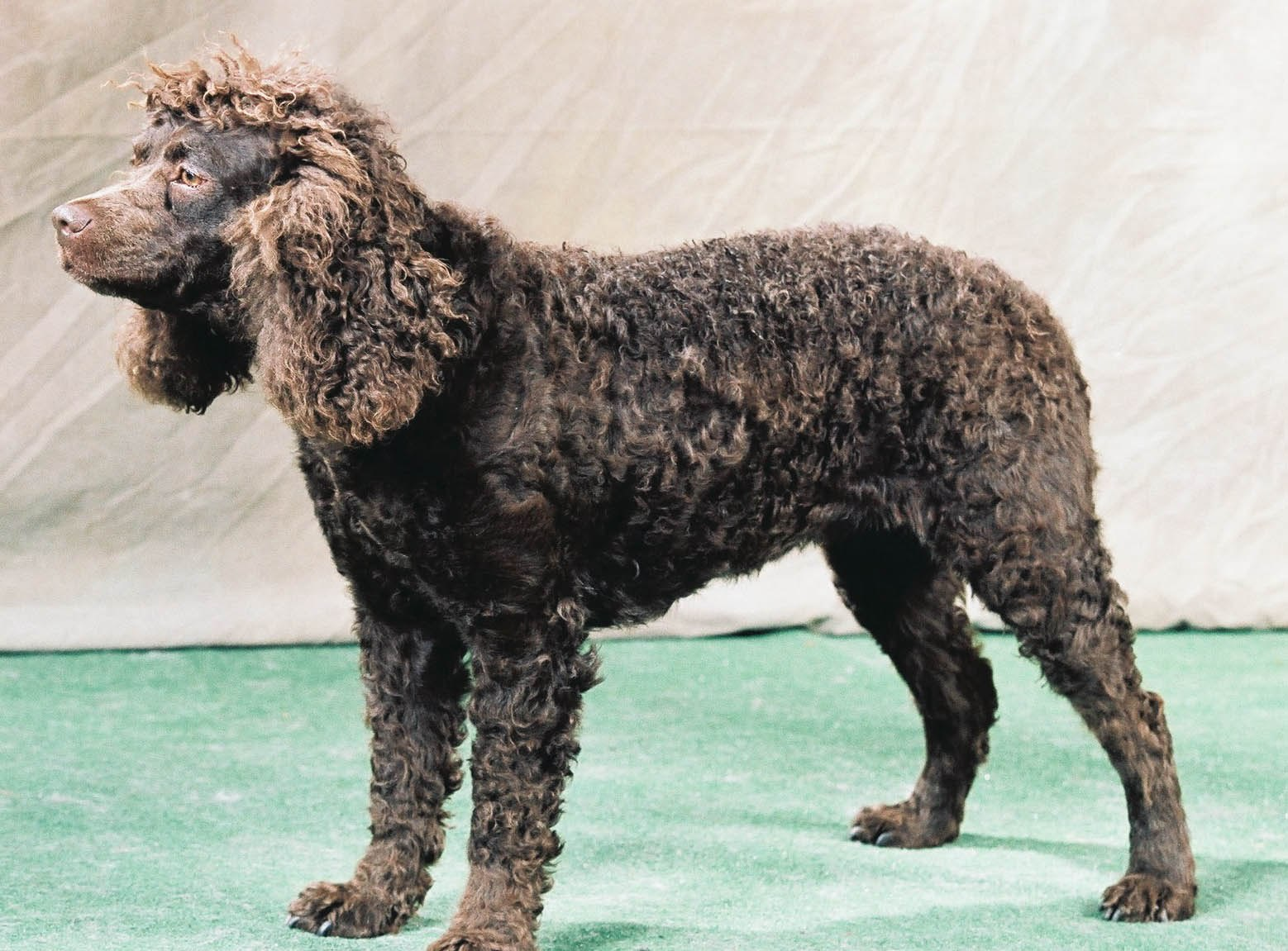 American Water Spaniel at the dog show wallpaper