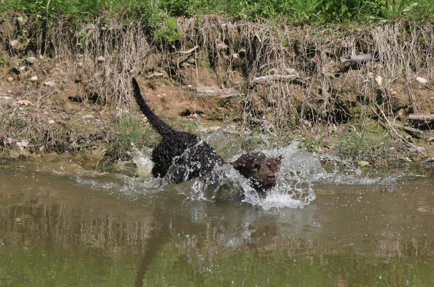American Water Spaniel in the water wallpaper