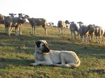 Anatolian Shepherd Dog herding sheep