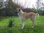 Anatolian Shepherd Dog in the garden