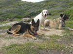 Anatolian Shepherd Dogs group