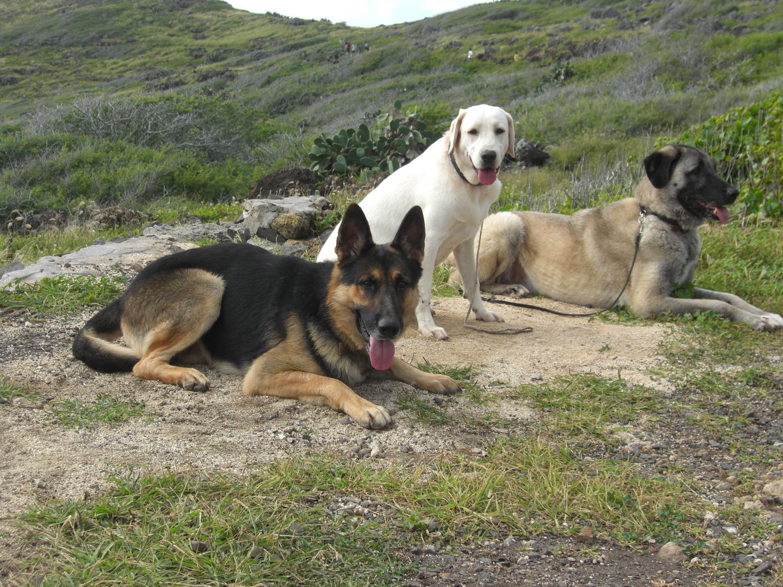 Anatolian Shepherd Dogs group wallpaper
