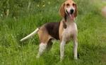 Anglo-Francais de Petite Venerie dog