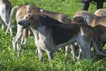 Anglo-Francais de Petite Venerie dogs