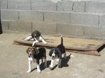 Anglo-Francais de Petite Venerie puppies