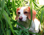 Anglo-Francais de Petite Venerie puppy in the grass