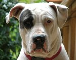 Antebellum Bulldog