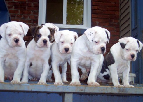 Antebellum Bulldog puppies wallpaper