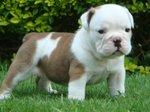 Antebellum Bulldog puppy