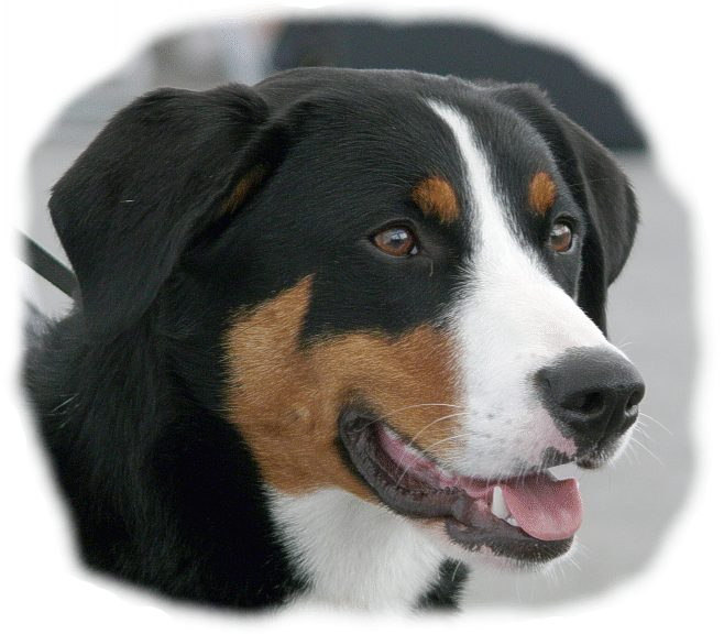 Appenzeller Sennenhund dog face wallpaper