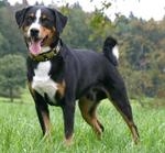 Appenzeller Sennenhund dog on the grass