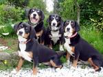 Appenzeller Sennenhund dogs