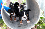 Appenzeller Sennenhund puppies in the pipe