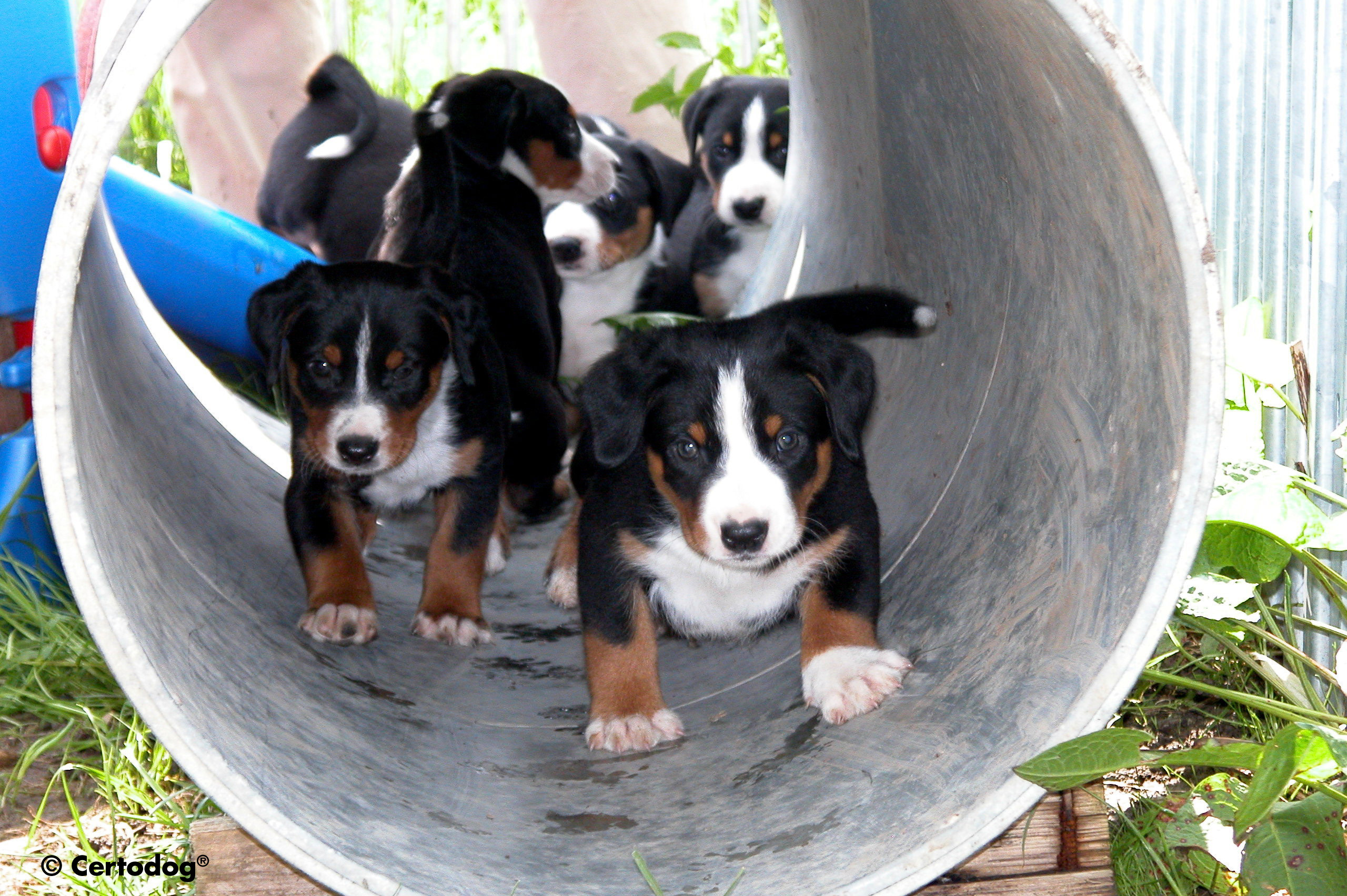 Appenzeller Sennenhund puppies in the pipe wallpaper