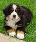 Appenzeller Sennenhund puppy
