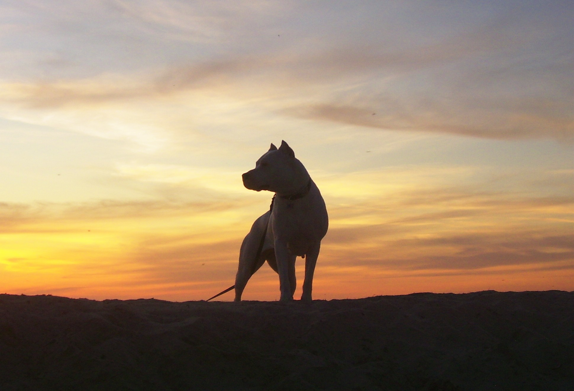 Argentine Dogo against the sunset wallpaper