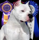 Argentine Dogo champion