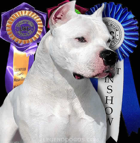 Argentine Dogo champion wallpaper