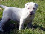 Argentine Dogo puppy