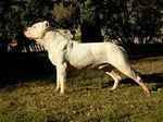 Argentine Dogo side view
