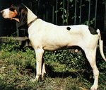 Ariegeois dog Max