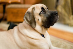 Attentive English Mastiff dog