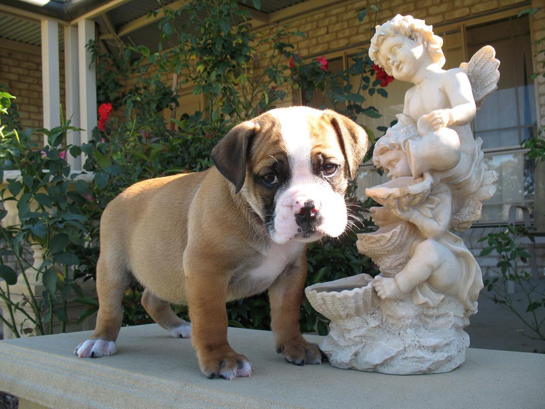 Australian Bulldog and a statue wallpaper