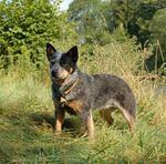 Австралийская пастушья собака в лесу