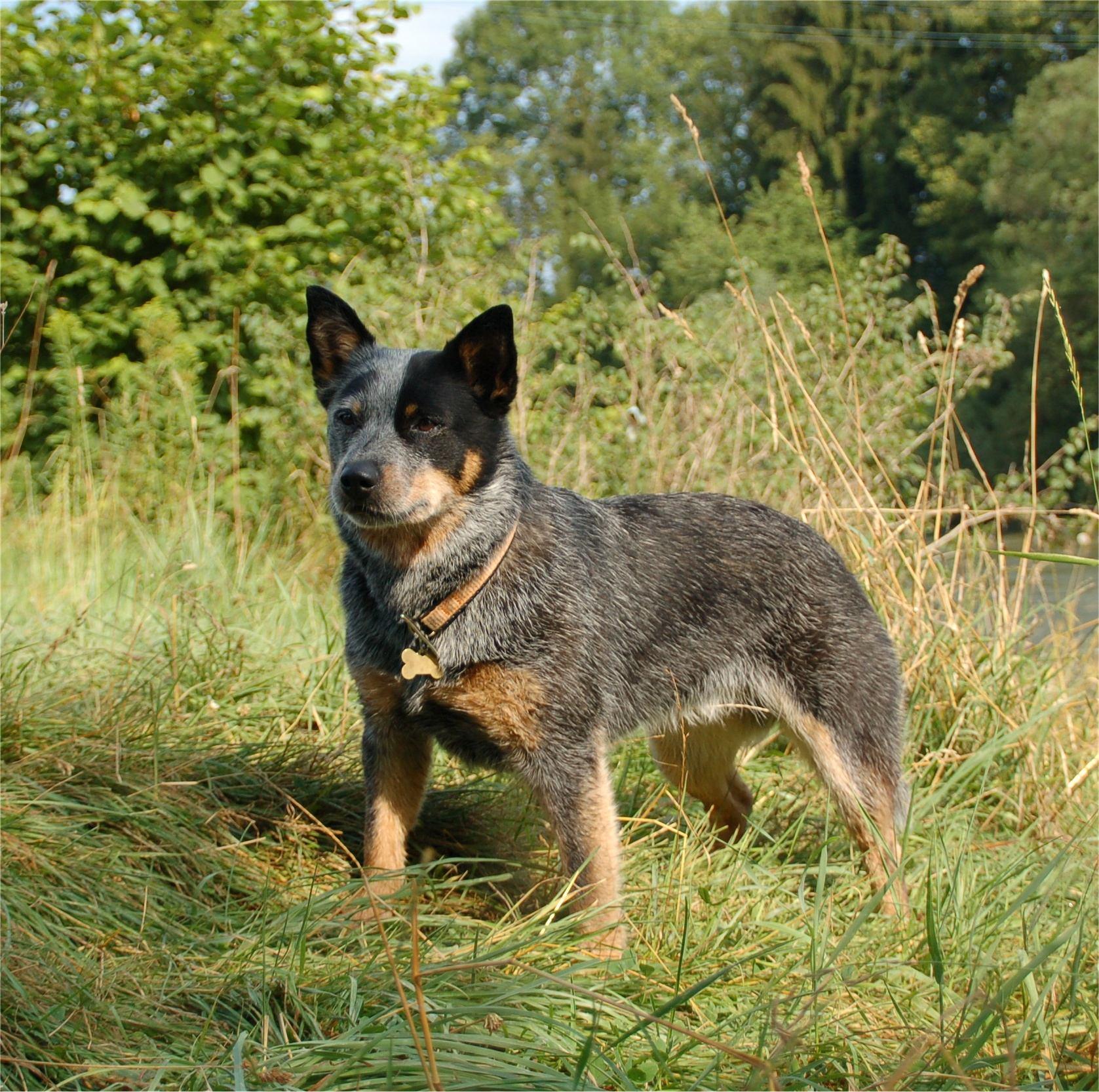 Австралийская пастушья собака в лесу фото