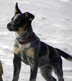 Australian Cattle Dog on the beach