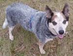 Австралийская пастушья собака смотрит на фотографа