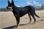 Australian Kelpie at the seaside
