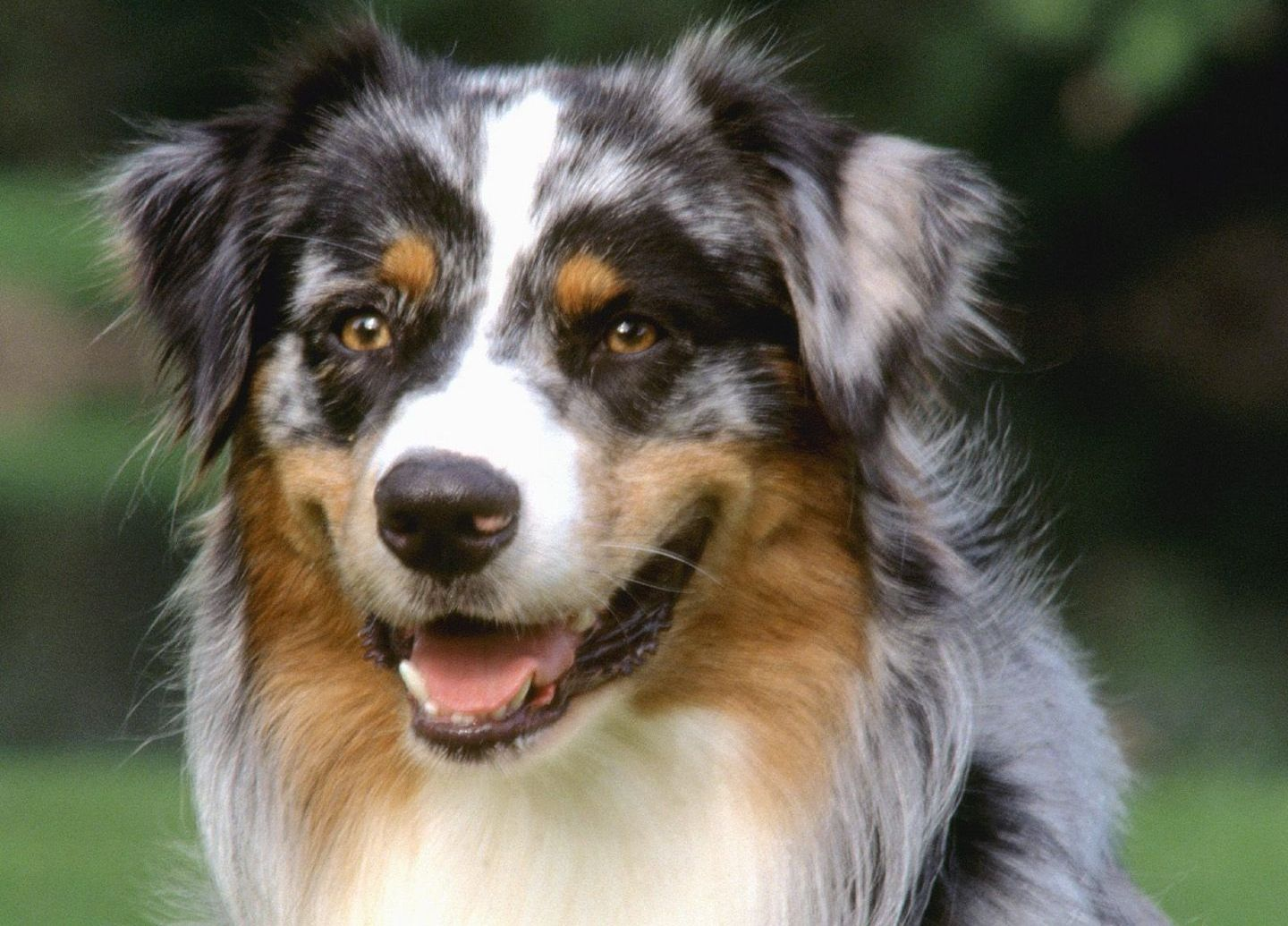 Dog Face Photo And Beautiful Australian Shepherd