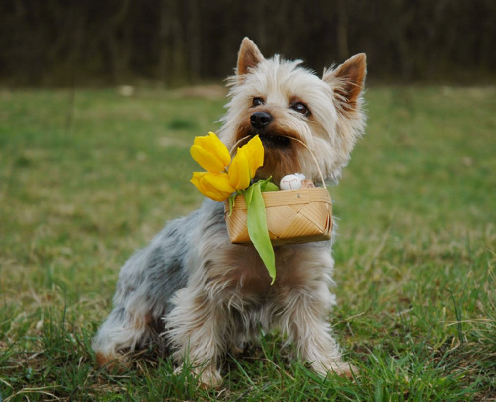 Australian Silky Terrier and a basket with flowers wallpaper