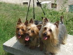 Three Australian Silky Terrier dogs