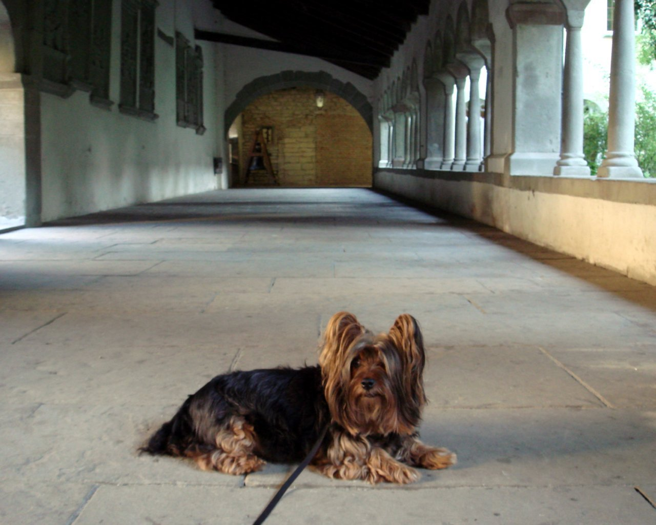 Australian Silky Terrier in the old house wallpaper