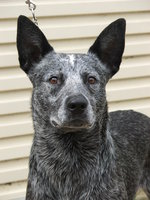 Australian Stumpy Tail Cattle Dog face