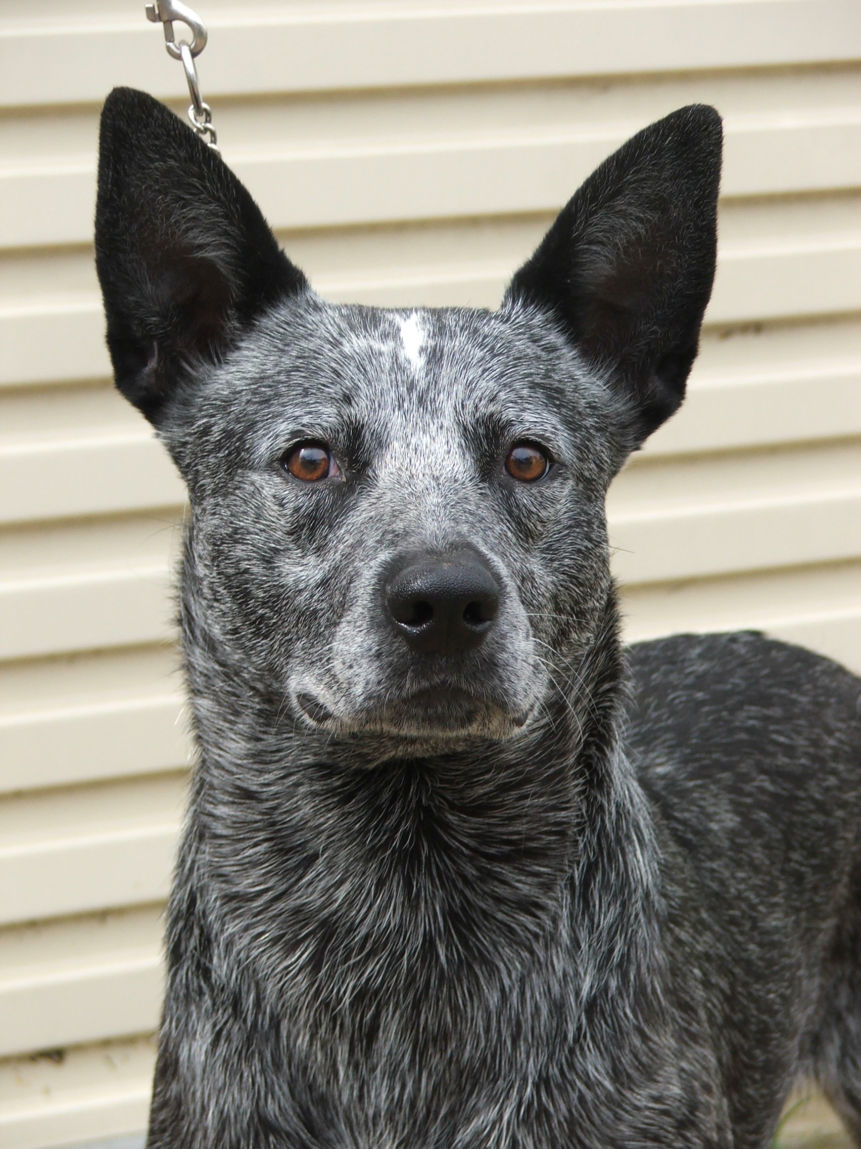 Australian Stumpy Tail Cattle Dog Face Photo And Beautiful