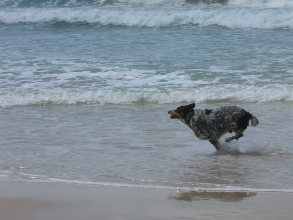 Australian Stumpy Tail Cattle Dog running in the water wallpaper