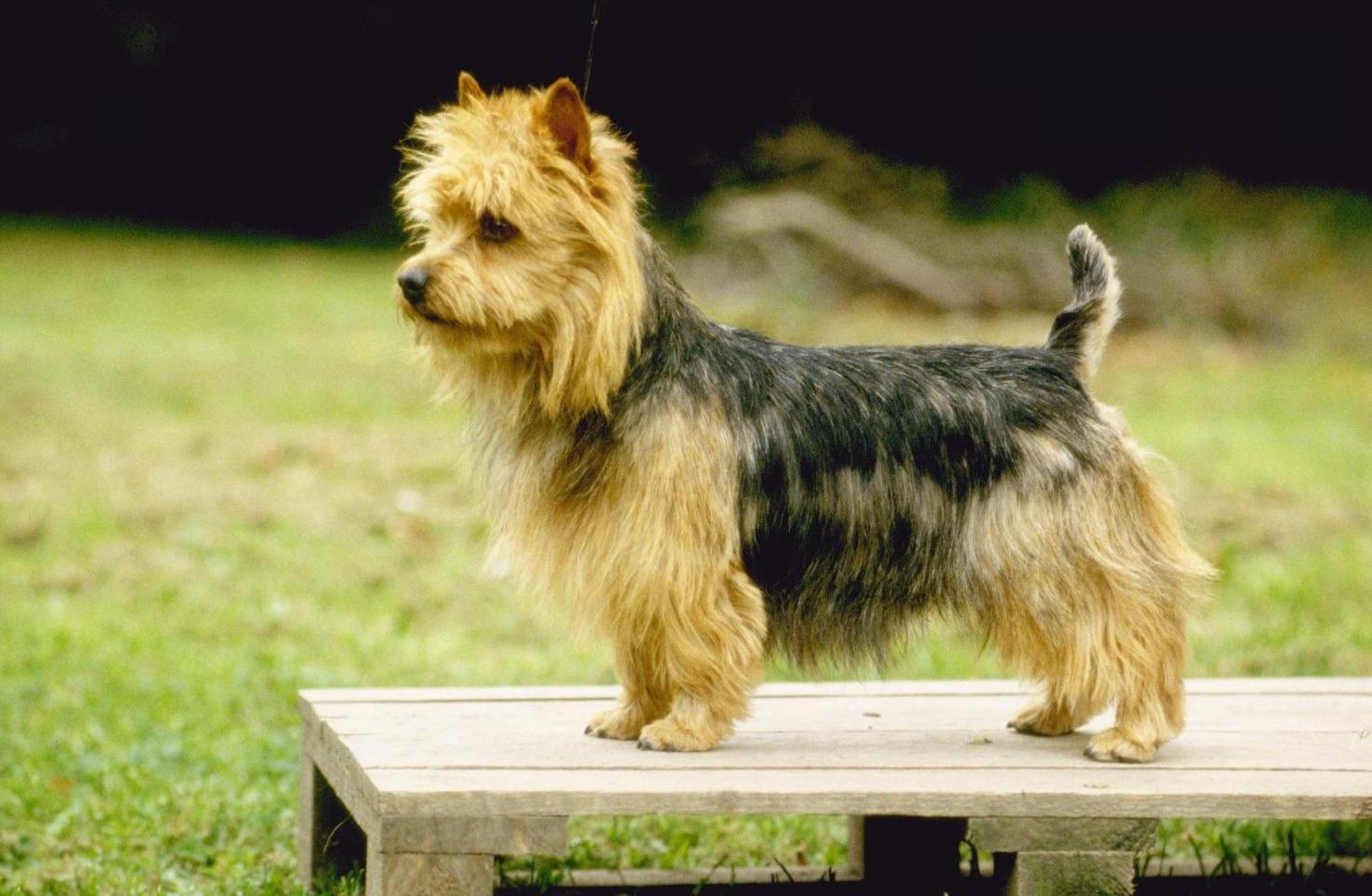 Australian Terrier dog wallpaper
