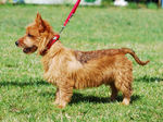 Australian Terrier on a walk