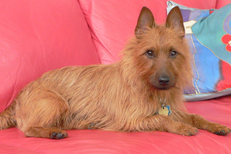 Australian Terrier resting wallpaper