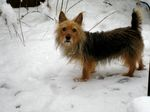 Australian Terrier wintertime