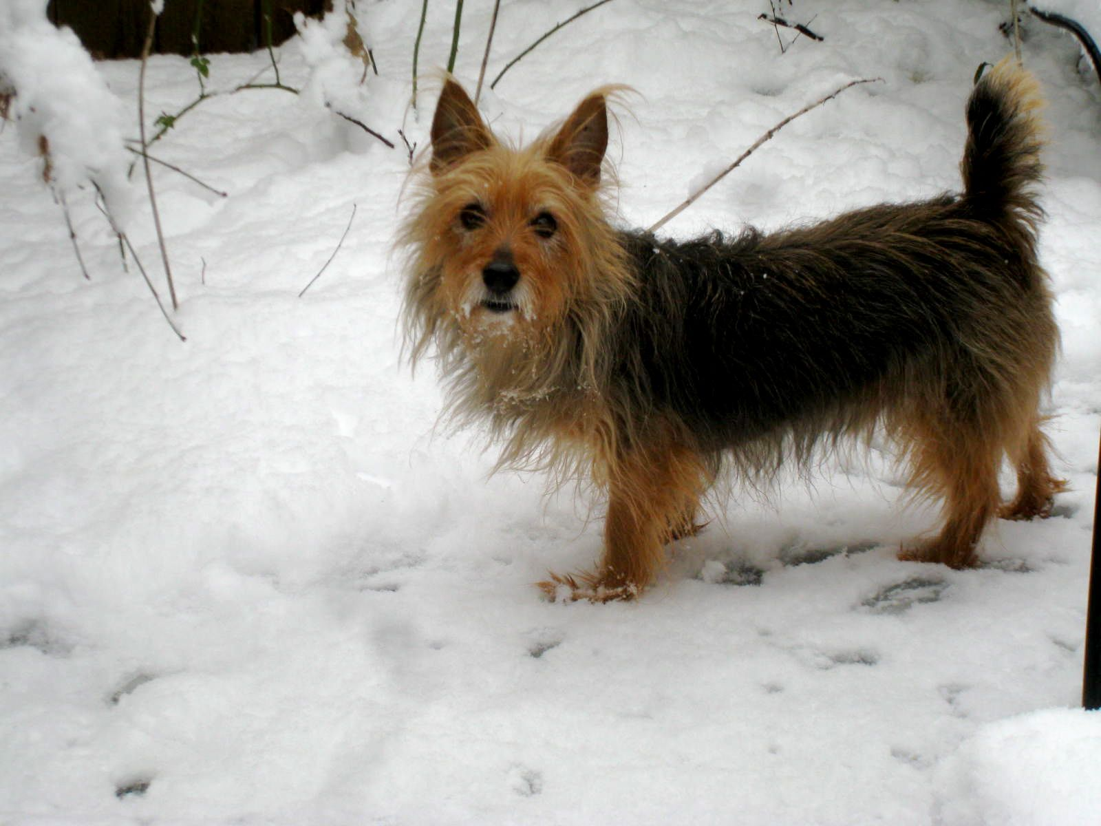 Australian Terrier wintertime wallpaper