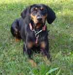 Austrian Black and Tan Hound at funny collar
