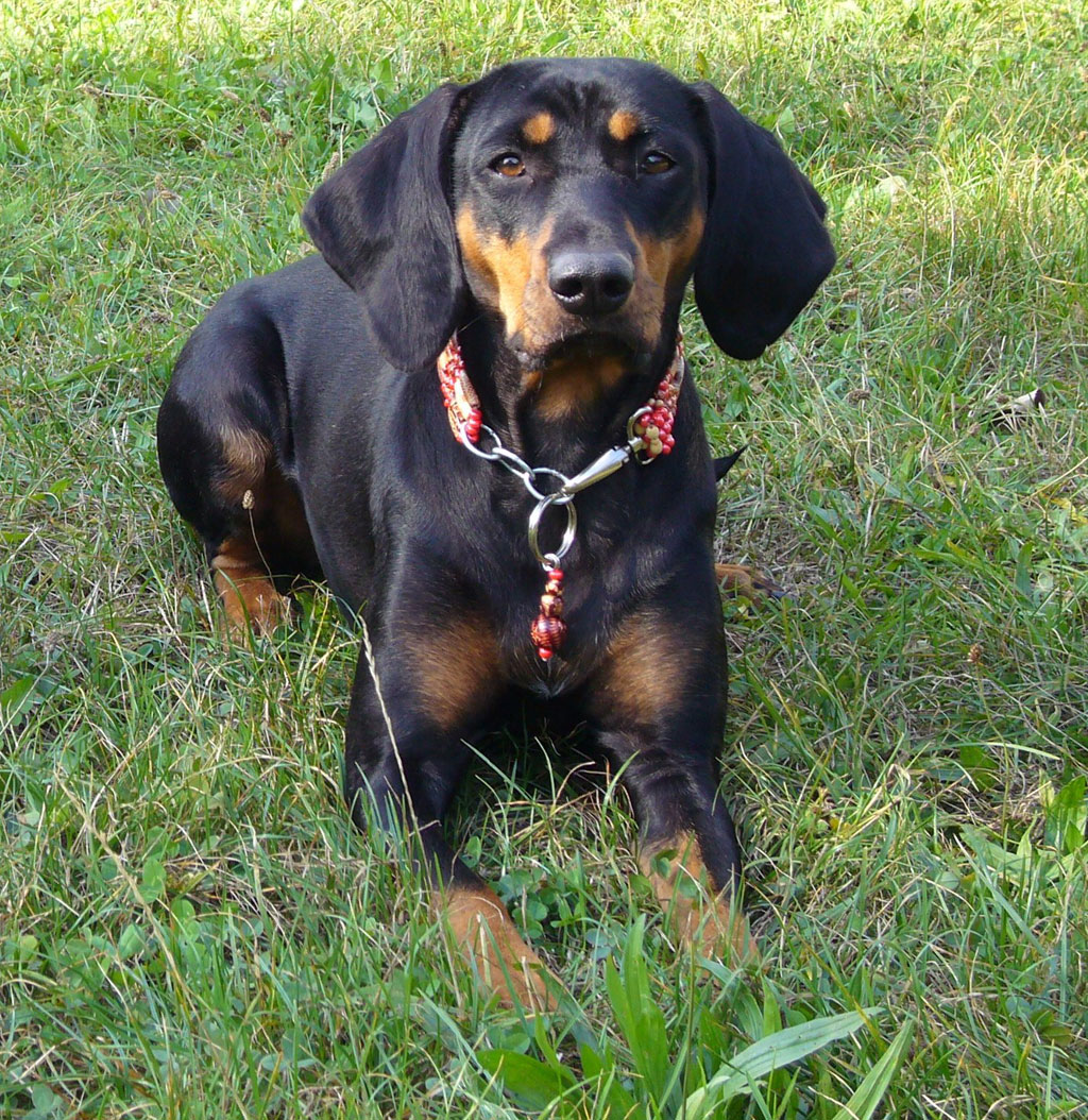 Austrian Black and Tan Hound at funny collar wallpaper