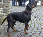 Austrian Black and Tan Hound outdoors