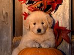 Autumn Golden Retriever puppy