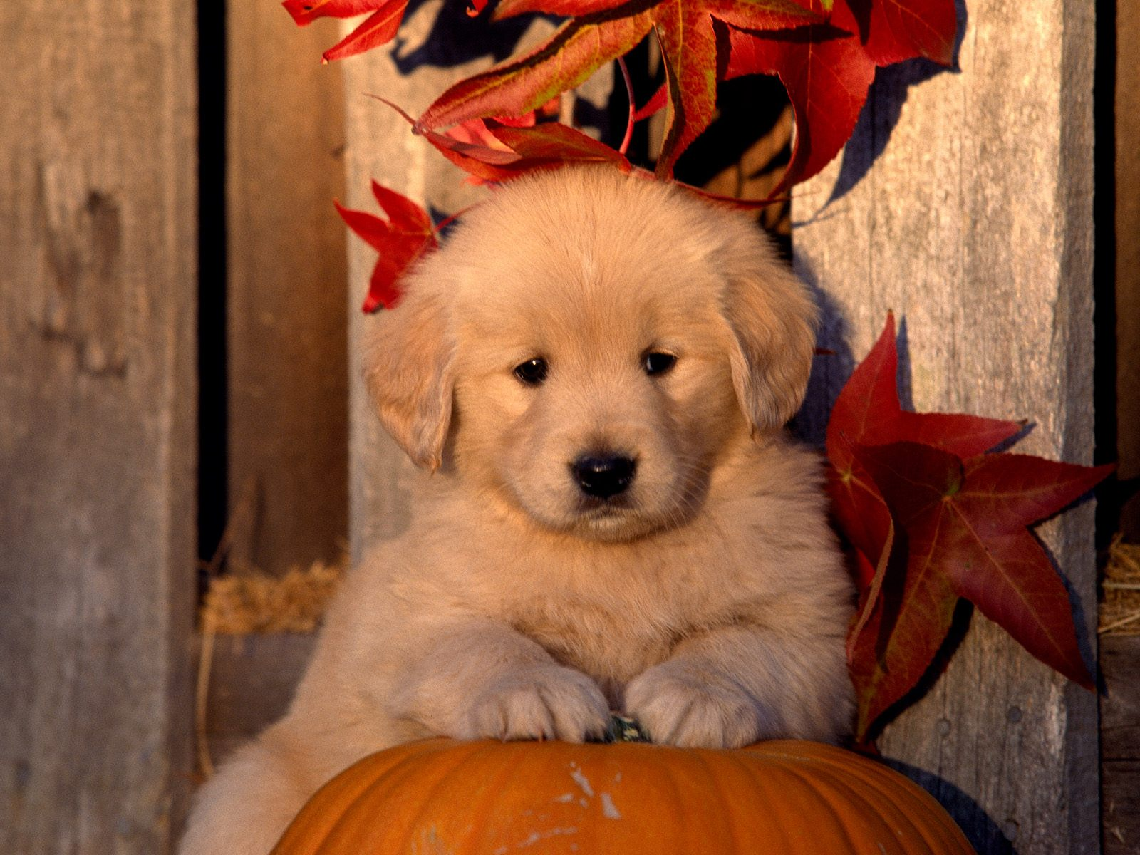Autumn Golden Retriever puppy photo and wallpaper. Beautiful