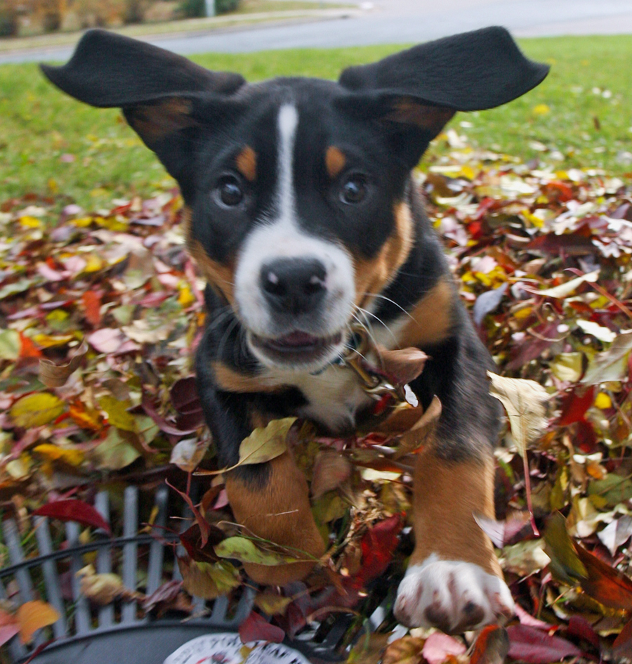 Autumn Greater Swiss Mountain Dog  wallpaper